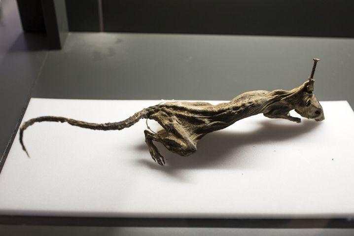 Totgeschraubt: Die Ratte fand ihr Ende unter einer Diele