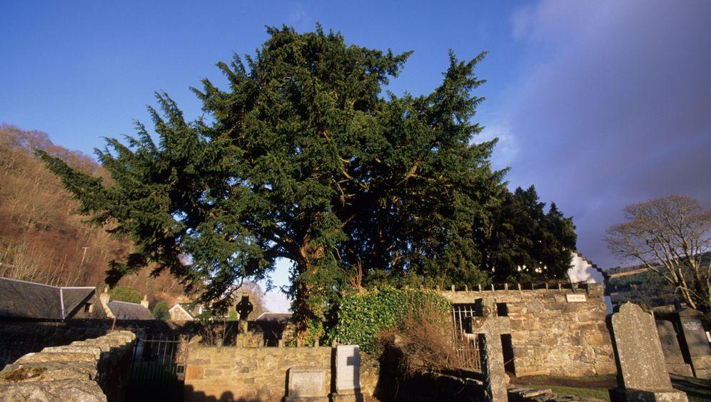 Ältester Baum Großbritanniens: Bäumchen wechsle dich