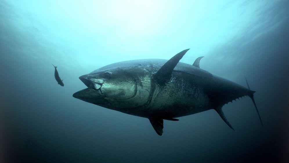 Deepwater Horizon: Thunfische leiden unter Öl