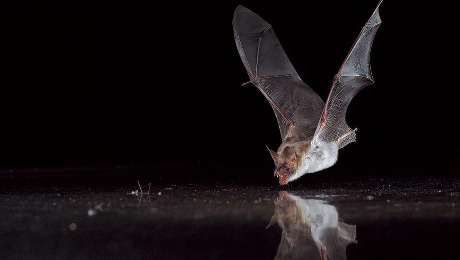 Großes Mausohr (Myotis myotis) beim Trinken: Sinnesorgan trickst Fledermäuse aus.
