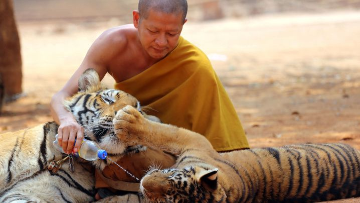 Thailand: Das Ende des Tiger-Tempels