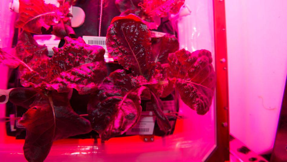 Römersalat auf der ISS: Im roten und blauen Licht sieht das Gemüse lila bis pink aus