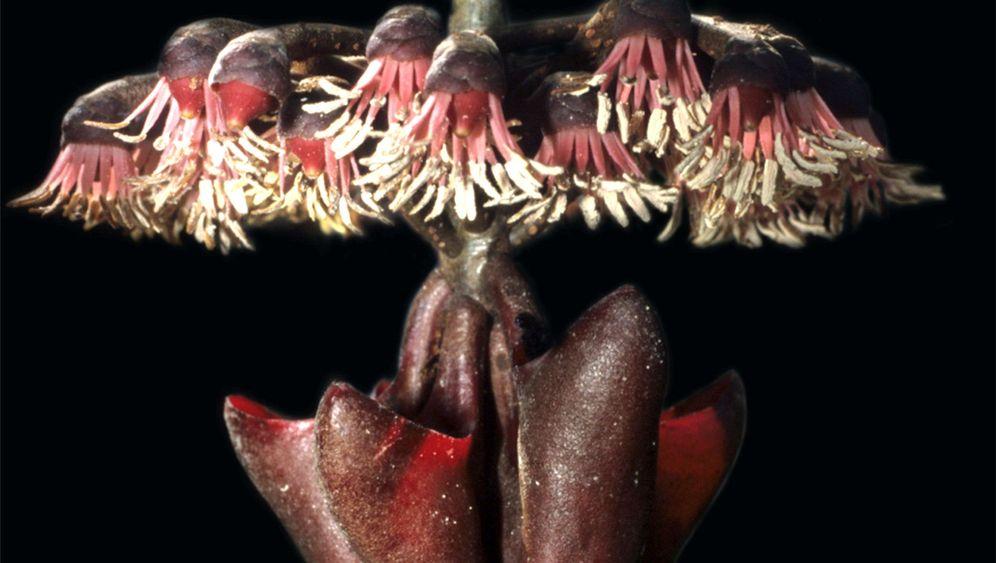 Botanik: Wie Pflanzen Fledermäuse anlocken
