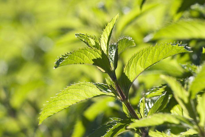 Japanisches heilpflanzenöl trinken