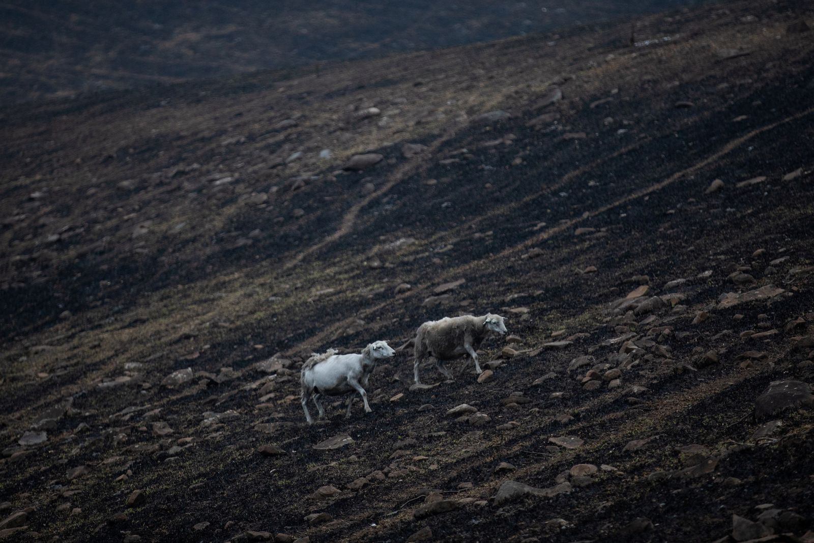 Sheep make their way in the fire grounds near Bega, News South Wales