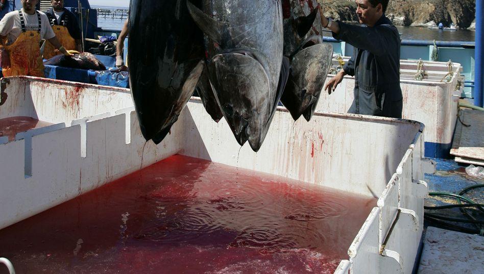 Thunfisch-Fang (Archivbild): Erhöhte Strahlenbelastung durch Fukushima-Unfall