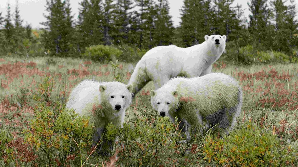 Polar bears are seen exploring south of Churchill, Manitoba: Around 800 polar bears are hunted each year around the world.