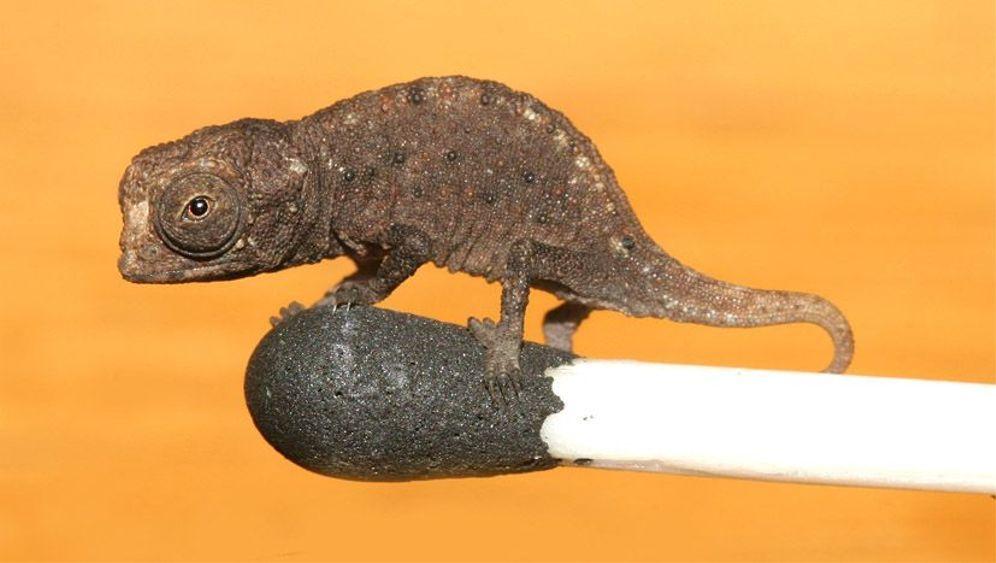 Neuentdeckung: So winzig sind die Mini-Chamäleons