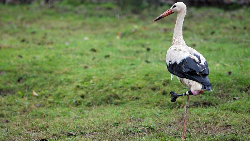 Dietmar the stork with his prosthetic leg.