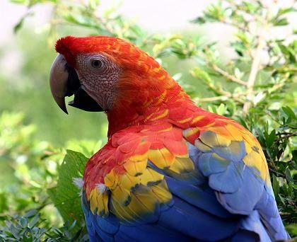 Ara: Papageien gehören zu den Tieren, die im Urwald der Achuar-Indianer für eine niemals verstummende Geräuschkulisse sorgen