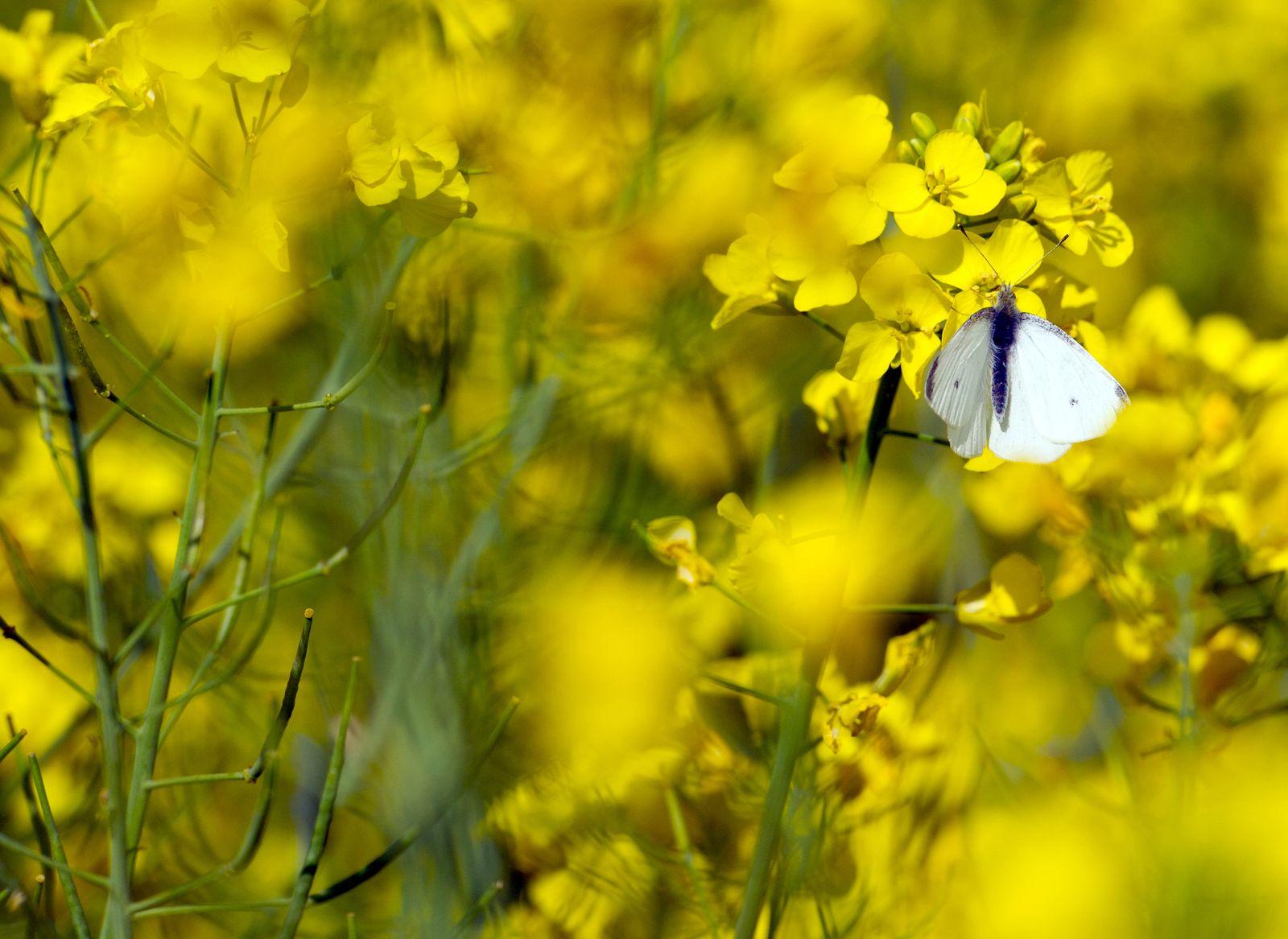 Schmetterling/ Rapsblüte/ Nikotinoide
