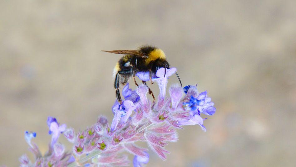 Dunkle Erdhummel auf einer Blüte: Die Insekten schwärmen schon bei vergleichsweise niedrigen Temperaturen aus und sind auch deshalb wichtige Bestäuber