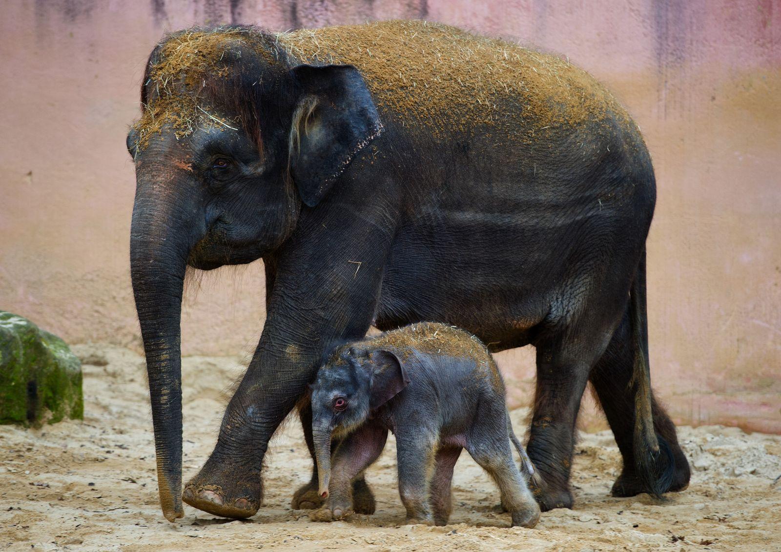Germany Zooo Elephant