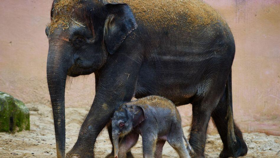 Elefanten im Erlebniszoo Hannover