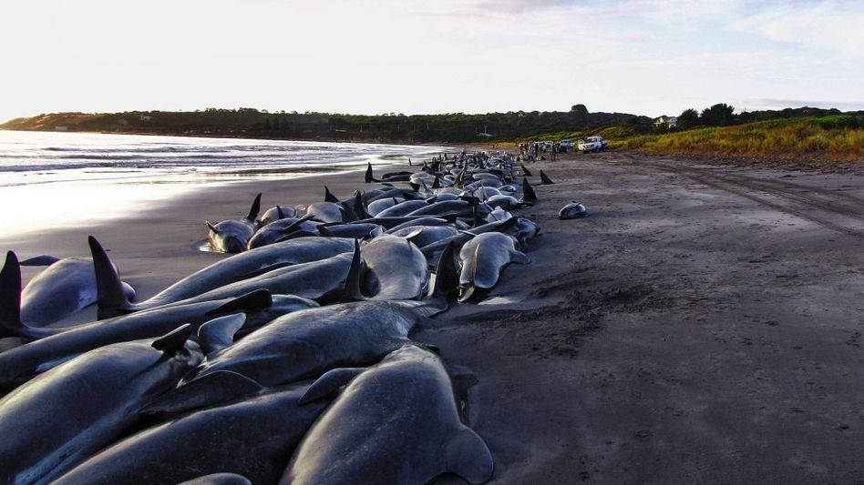 Verendende Grindwale auf King Island vor Tasmanien