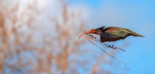 Waldrapp: Warum Forschung für seltene Vögel gefährlich werden kann