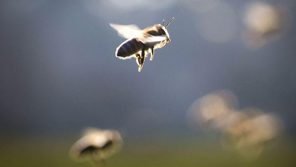 Biene im Anflug: Für einige Menschen kann ein Stich lebensbedrohlich sein