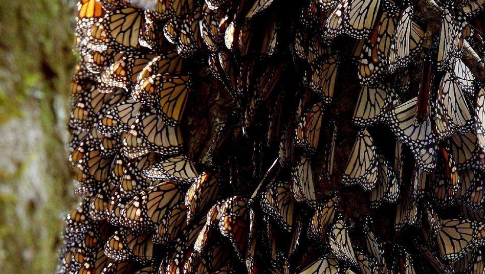 Monarchfalter in Mexiko (2008): Die Tiere sind akut gefährdet.