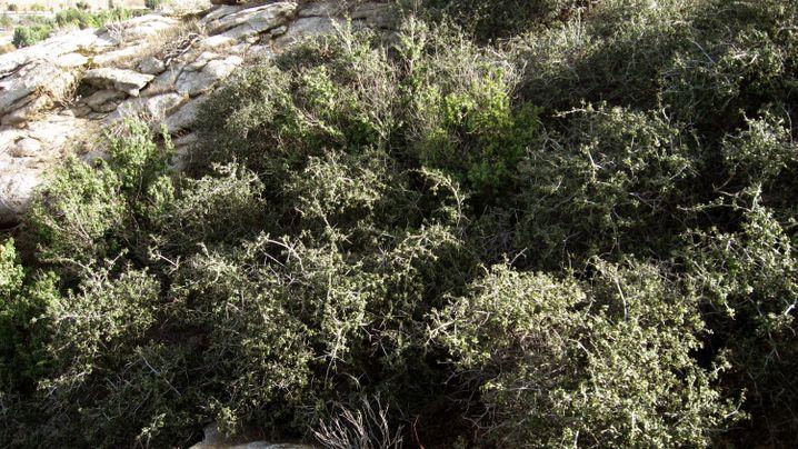 """Eiszeitpflanze: """"Alt wie ein Baum"""""""