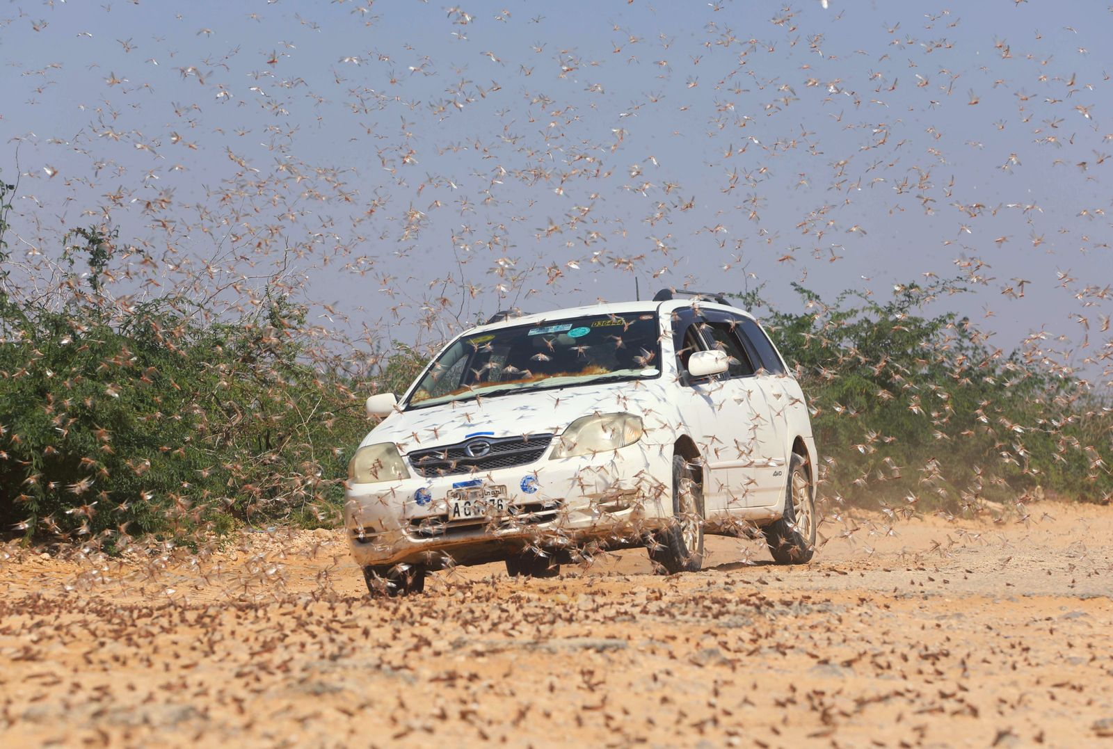 A motorist drives within desert locusts near a grazing land on the outskirt of Dusamareb in Galmudug region