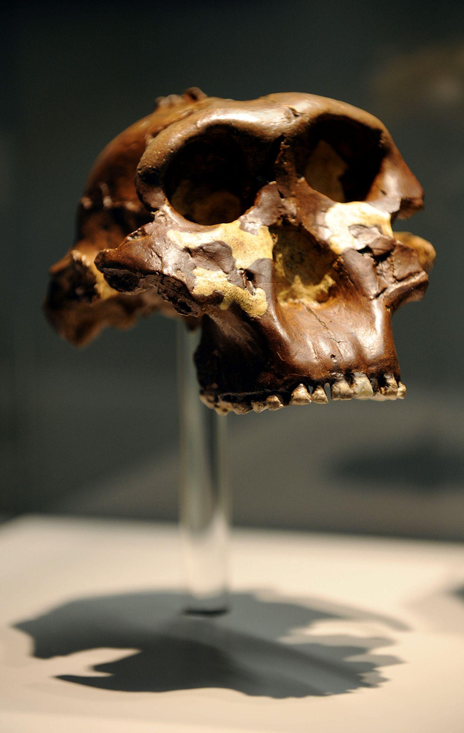 NICHT VERWENDEN Nussknacker Gebiss Paranthropus boisei
