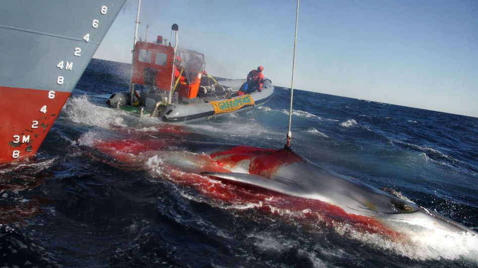"""Walfang auf offener See: """"Der Vorschlag ist eine Kapitulation vor den Walfangländern"""""""