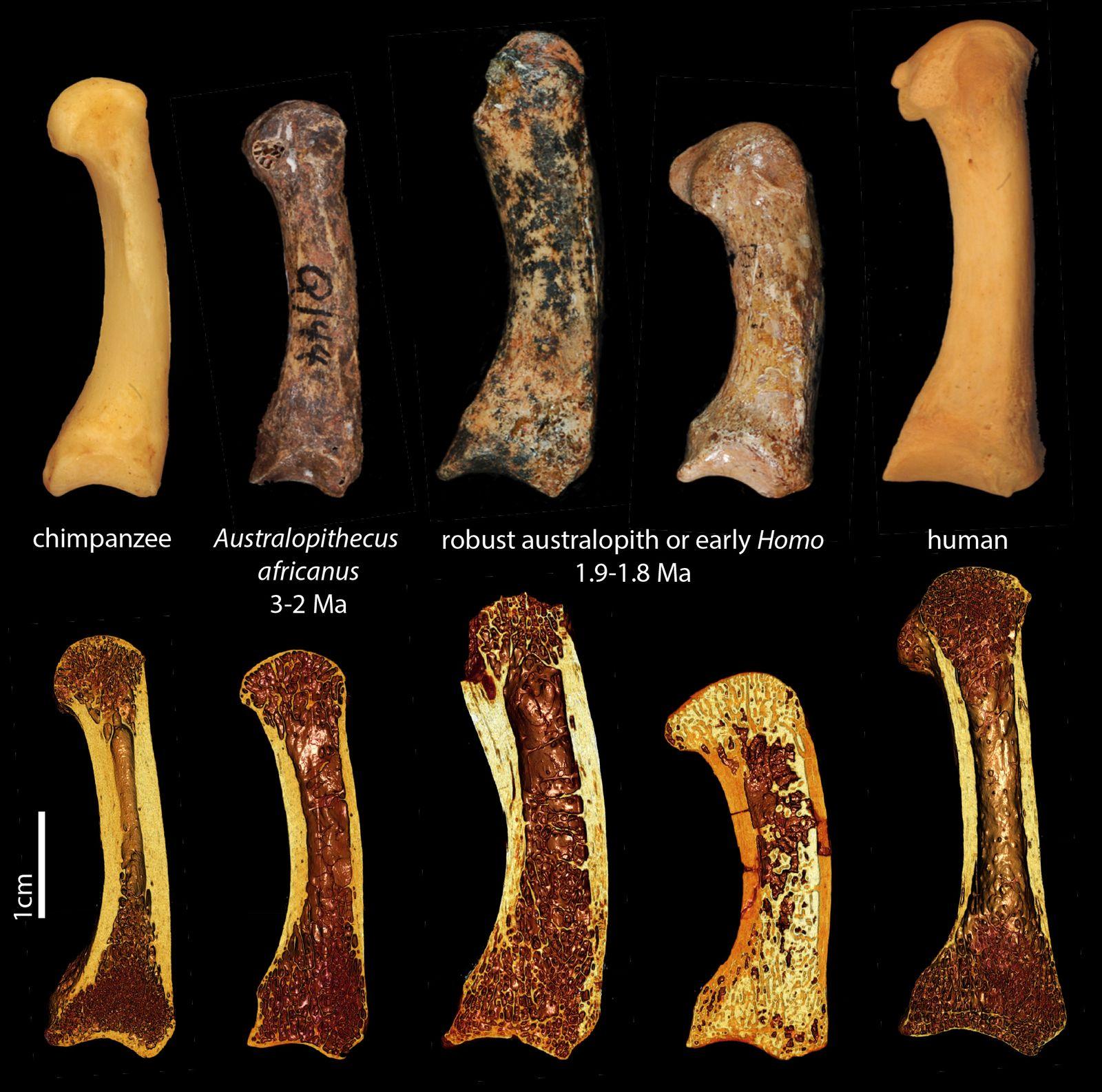 EINMALIGE VERWENDUNG Knochenanalyse/ Vormenschen/ Werkzeuge