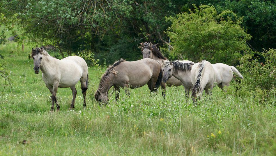 Konikpferde in einem Naturschutzgebiet in Rheinland-Pfalz (Archivfoto)