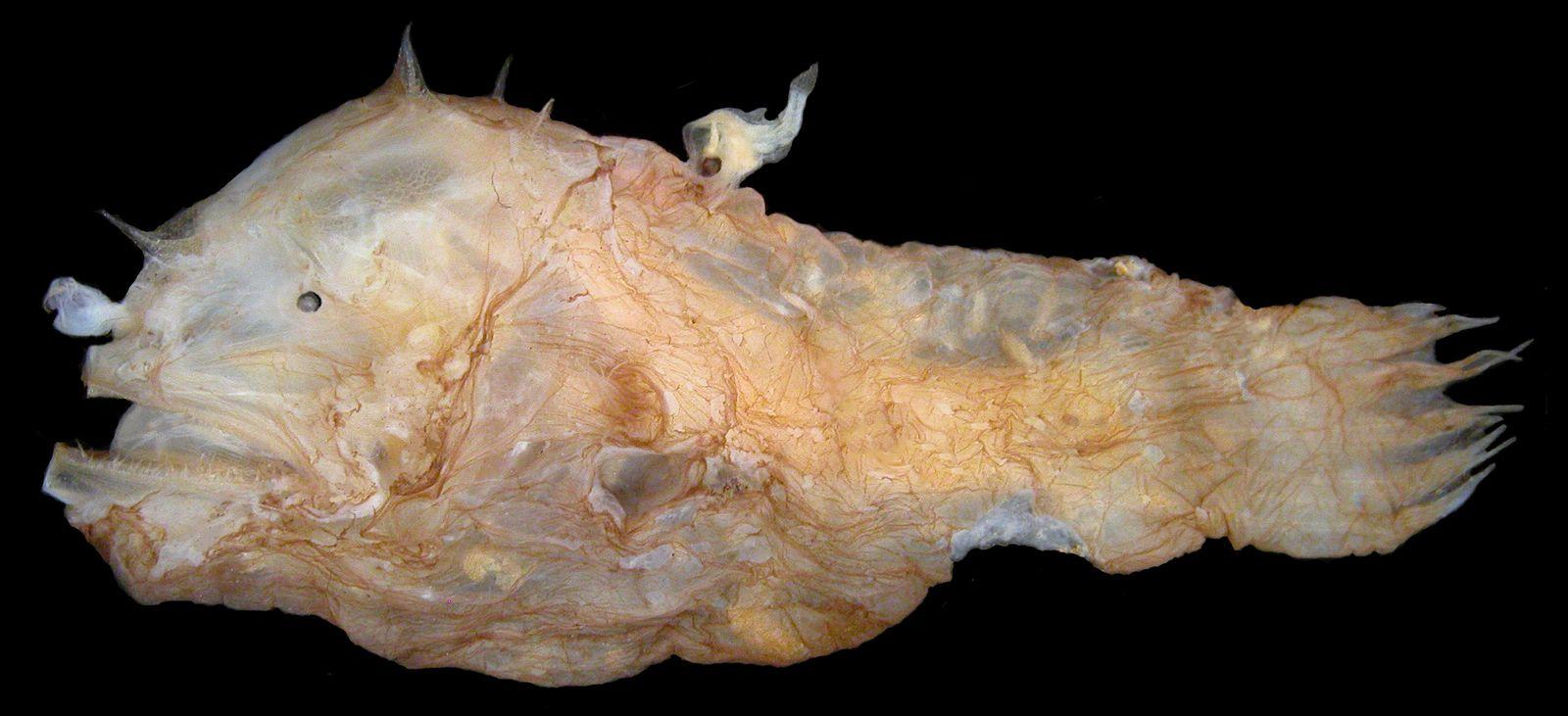 Dossier: Anglerfische: Immunsystem ermöglicht bizarres Paarungsve