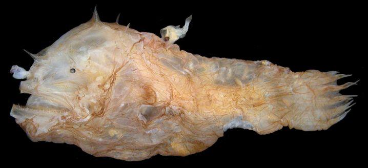 Einige Anglerfisch-Männchen finden niemals eine Partnerin, die Tiefsee ist zu groß