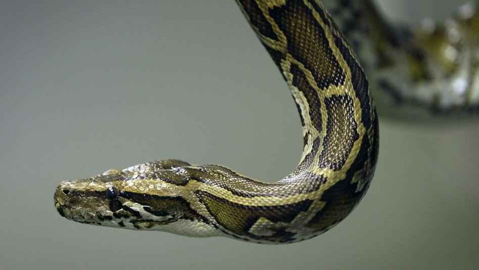 Python: Einer australischen Mutter jagte solch eine Würgeschlange einen großen Schreck ein