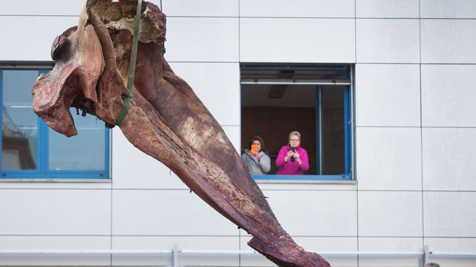 Ankunft in Gießen: Kieferstück eines kürzlich vor Helgoland gestrandeten Pottwals