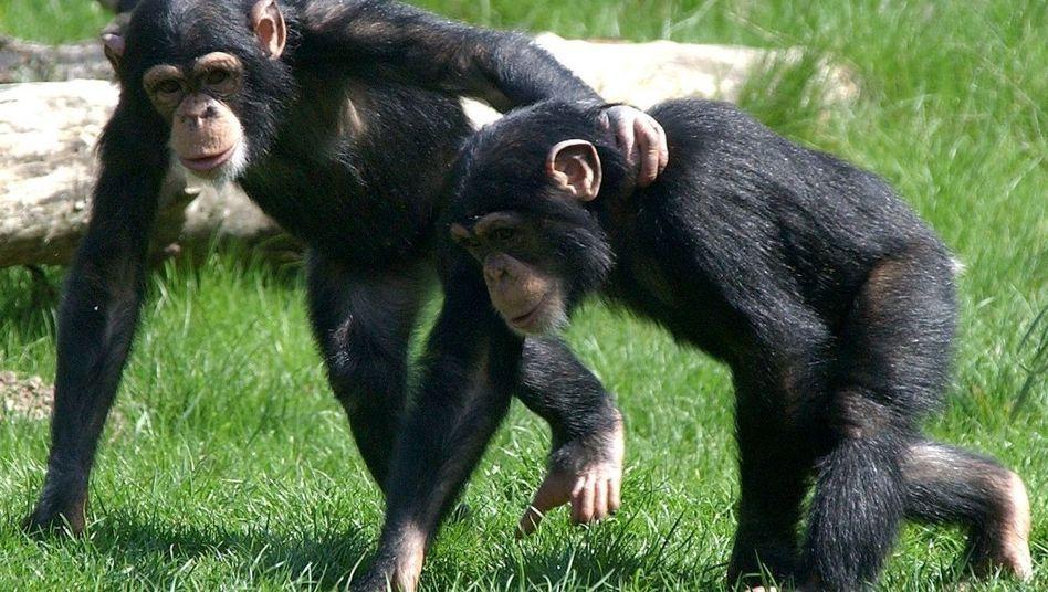 Schimpansen (Archivbild): Genetisch sind sie nahezu identisch mit dem Menschen