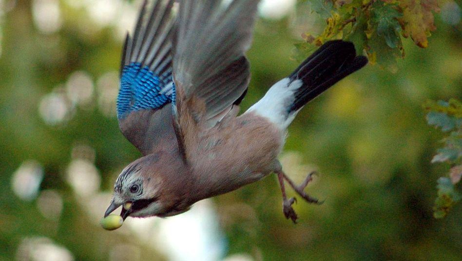Eichelhäher: Männliche Exemplare beschenken Vogel-Damen mit ausgewähltem Futter