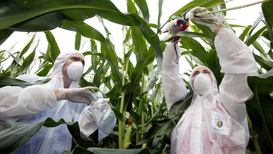 Maisfeld bei Borken (Archiv): Greenpeace-Mitarbeiter nehmen Pflanzenproben