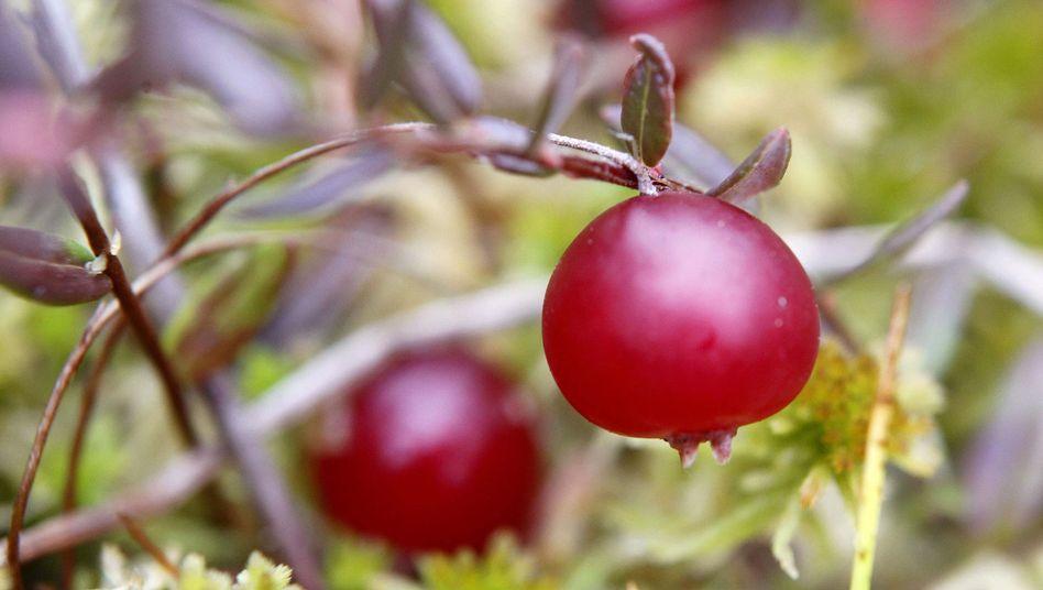 Cranberrys: Sollen helfen, Blasenentzündungen vorzubeugen