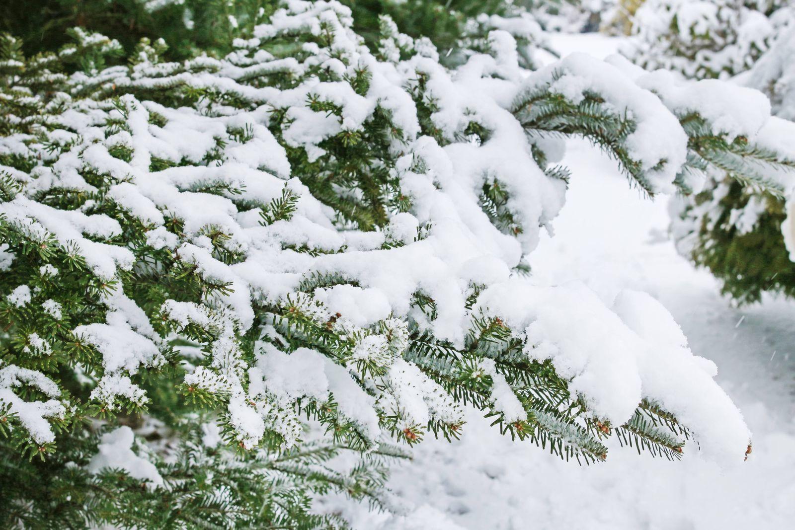 Fir branches under snow. Garden in winter PUBLICATIONxINxGERxSUIxAUTxONLY BEW1D90E461