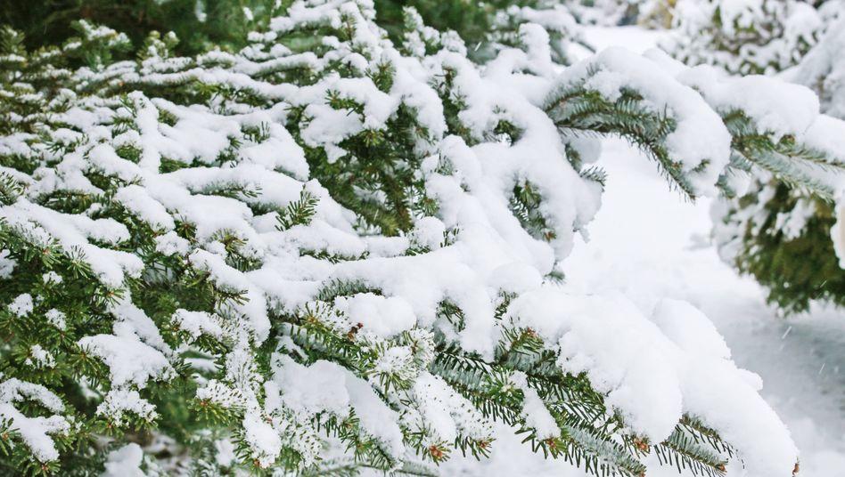 Nadelbäume: Die Fähigkeit, auch im Winter grün zu bleiben, hat laut Forschern eine entscheidende Bedeutung für die Menschheit
