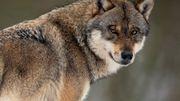 So viel kostet der Wolf in Deutschland