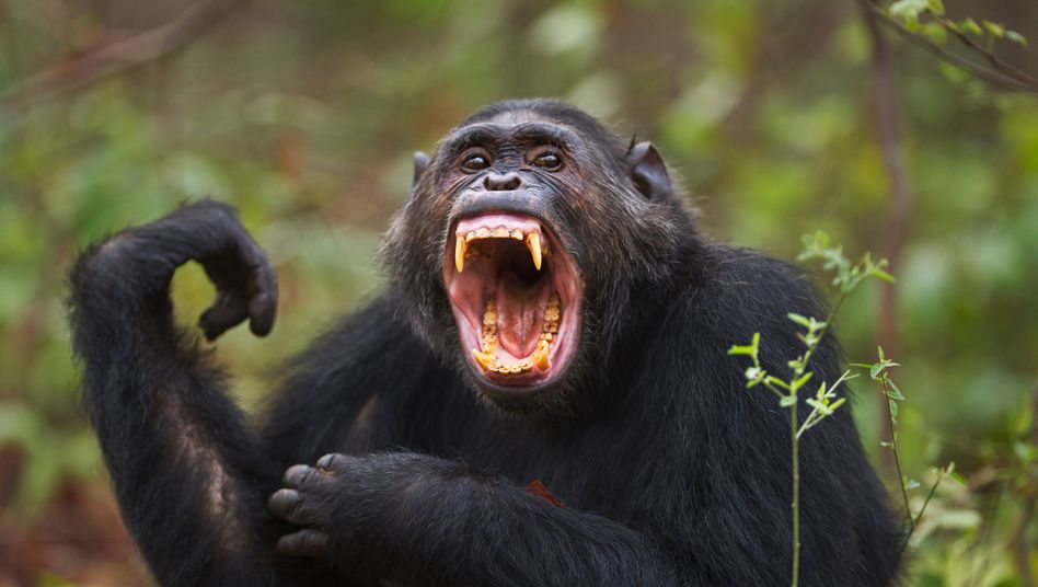 Eastern chimpanzee