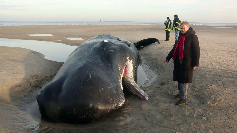 Wangerooge: Wal-Kadaver drohen zu explodieren