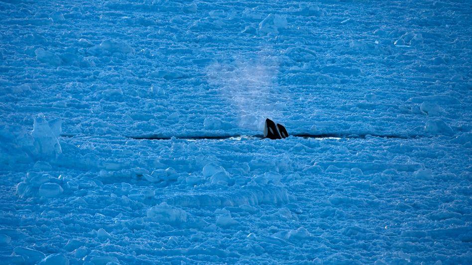 Orcas tauchen aus einem Eisloch im Südpolarmeer auf