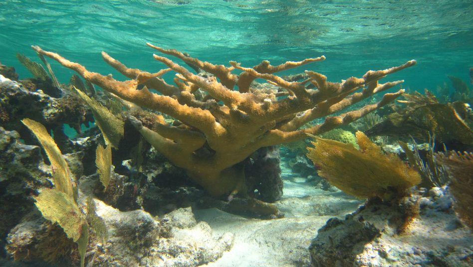 Steinkorallen: Im flachen Meer Rückgang der Kalkproduktion um bis zu 70 Prozent