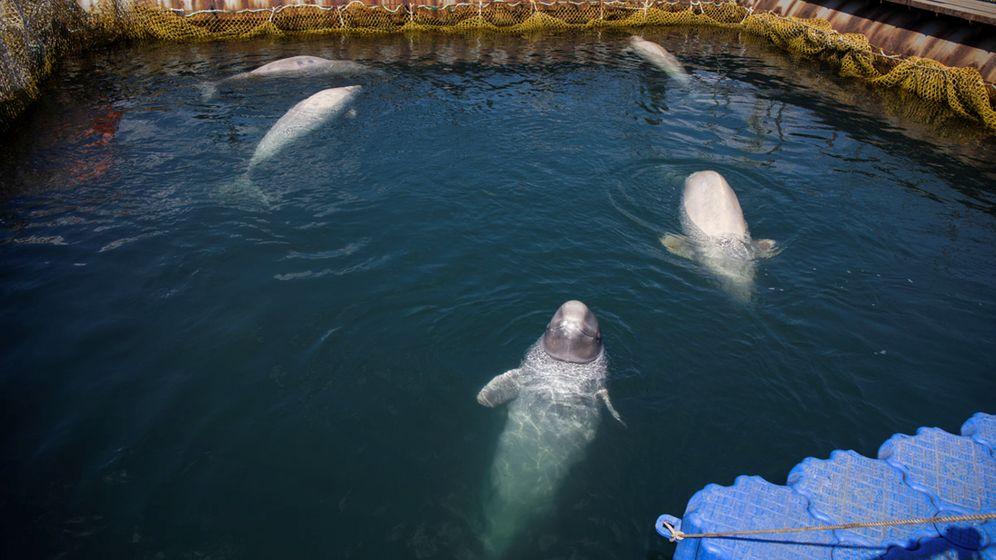 Eingesperrte Orcas und Belugas: In der Wal-Hölle
