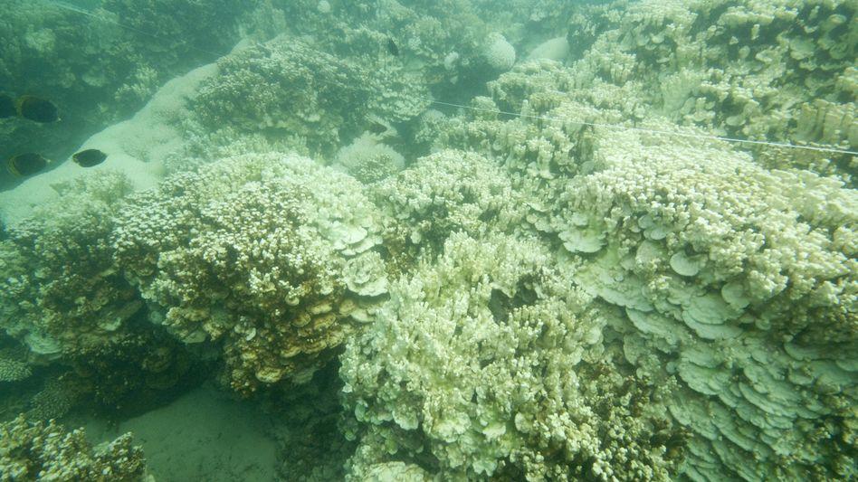 """Geschädigte Korallen (vor Australien): """"Weitreichende Bleiche ist alarmierend"""""""