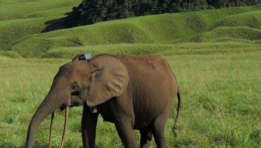 Junger Waldelefant in Gabun