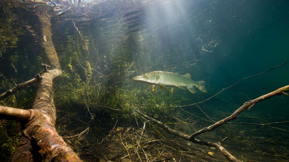 Hecht im Echinger Weiher in Bayern (Archivbild): Düngemittel können das ökologische Gleichgewicht in Seen und Flüssen durcheinander bringen