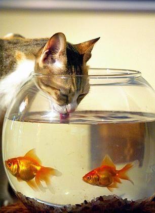 Katze am Aquarium: Stubentiger bevorzugen Herzhaftes