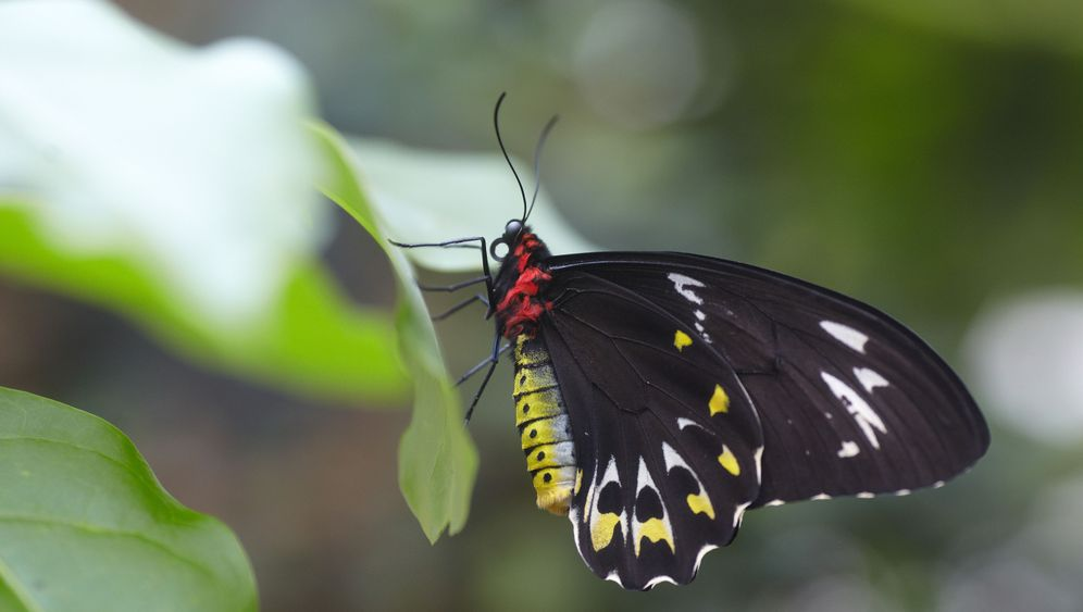 Photo Gallery: The World's Largest Butterfly