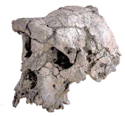 Schädel des möglicherweise ältesten Vorfahren des Menschen